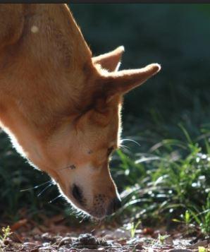 trailing-dog